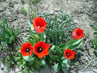 тюльпаны 2.jpg